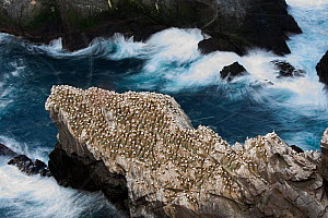 Northern gannet (Sula bassana) colony, Hermaness, Unst, Shetland Scotland, UK, April. - David Tipling