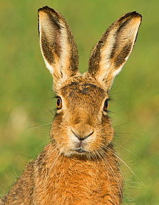 European brown hare (Lepus europaeus) portrait in wheat field, Norfolk, England, UK, March.  -  David Tipling