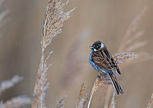 Reed bunting (Emberiza schoeniclus) male coming into breeding plumage, Cley, Norfolk, England, UK, March.  -  David Tipling