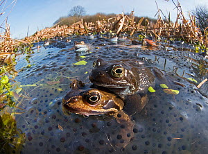Common frogs (Rana temporaria) mating surrounded by spawn in pond, West Runton North Norfolk, England, UK, March.  -  David Tipling