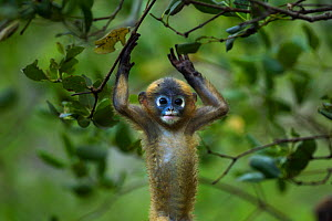 Dusky leaf monkey (Trachypithecus obscurus) baby playing . Khao Sam Roi Yot National Park, Thailand.  -  Anup Shah