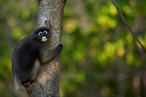Dusky leaf monkey (Trachypithecus obscurus) clinging to a tree   . Khao Sam Roi Yot National Park, Thailand. March 2015.  -  Anup Shah