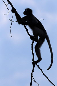Dusky leaf monkey (Trachypithecus obscurus) silhouetted, swinging from a branch. Khao Sam Roi Yot National Park, Thailand. March 2015.  -  Anup Shah