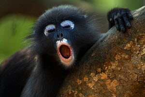 Dusky leaf monkey (Trachypithecus obscurus) juvenile yawning . Khao Sam Roi Yot National Park, Thailand. March 2015.  -  Anup Shah