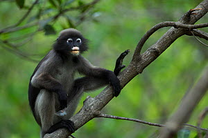 Dusky leaf monkey (Trachypithecus obscurus) male sitting in a tree . Khao Sam Roi Yot National Park, Thailand.  -  Anup Shah