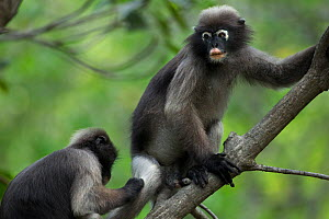Dusky leaf monkey (Trachypithecus obscurus) grooming male, Khao Sam Roi Yot National Park, Thailand.  -  Anup Shah