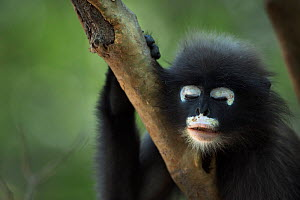 Dusky leaf monkey (Trachypithecus obscurus) juvenile portrait with eyes closed, Khao Sam Roi Yot National Park, Thailand. March 2015.  -  Fiona Rogers