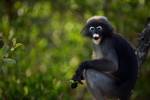 Dusky leaf monkey (Trachypithecus obscurus) male feeding in a tree . Khao Sam Roi Yot National Park, Thailand. March 2015.  -  Fiona Rogers