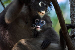 Dusky leaf monkey (Trachypithecus obscurus) female and suckling infant . Khao Sam Roi Yot National Park, Thailand. March 2015.  -  Fiona Rogers