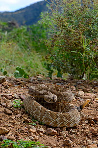 Red diamond rattlesnake (Crotalus ruber ruber) South West California, USA, September. Controlled conditions. - Daniel  Heuclin