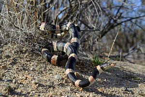 Long-nosed snake (Rhinocheilus lecontei) in bush, Panamint mountains, Death Valley National Park, California, USA. May.  -  Daniel  Heuclin