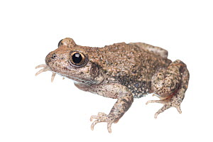 Midwife toad (Alytes obstetricans) adult, The Netherlands, May. Meetyourneighbours.net project  -  MYN / Paul van Hoof