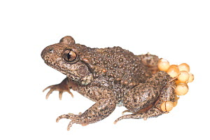 Midwife Toad (Alytes obstetricans) male carrying eggs, The Netherlands, May. Meetyourneighbours.net project  -  MYN / Paul van Hoof