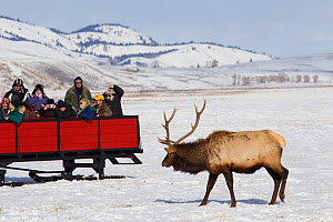 Tourists watching Elk (Cervus canadensis) from horse and cart, National Elk Refuge, Wyoming, USA. February 2013.  -  Peter Cairns