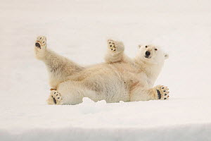 RF- Polar bear (Ursus maritimus) on ice floe, Svalbard, Norway, August. Vulnerable species. (This image may be licensed either as rights managed or royalty free.) - Peter Cairns
