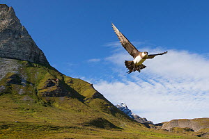 Arctic skua (Stercorarius parasiticus) in flight over breeding territory, Svalbard, Norway, August.  -  Peter Cairns