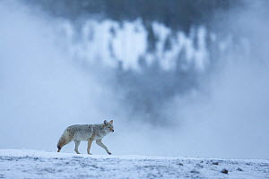 Coyote (Canis latrans) in wintry landscape, Yellowstone National Park, USA, February. - Peter Cairns