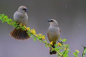 Bay-winged cowbird (Agelaioides badius) two perched on branch in rain, one calling and another feeding, Calden forest, La Pampa, Argentina - Gabriel Rojo