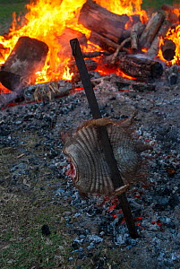 Traditional Argentinian roast of  Large hairy armadillo (Chaetophractus villosus) cooked outdoors over fire, La Pampa, Argentina.  -  Gabriel Rojo
