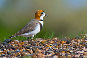 Two-banded plover (Charadrius falklandicus) on shore, Chubut, Patagonia , Argentina  -  Gabriel Rojo