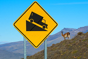 Guanacos (Lama guanicoe) next to a steep slope warning sign, Torres del Paine National Park, Chile - Gabriel Rojo