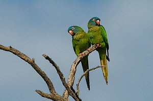 Blue-crowned parakeet (Thectocercus acuticaudatus) two perched together. Ibera Marshes, Corrientes Province, Argentina.  -  Gabriel Rojo