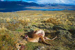 Guanaco (Lama guanicoe) killed by a cougar, Torres del Paine National Park, Chile  -  Gabriel Rojo