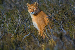 Cougar (Puma concolor) resting in vegetation, Torres del Paine National Park, Chile  -  Gabriel Rojo