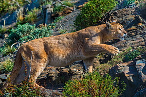 Wild Cougar (Puma concolor) walking across rocks, Torres del Paine National Park, Chile.  -  Gabriel Rojo