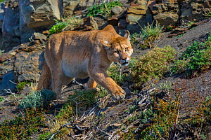 Wild puma (Puma concolor) walking across rocks, Torres del Paine National Park, Chile.  -  Gabriel Rojo