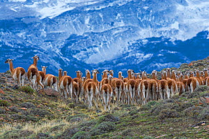 Guanaco herd (Lama guanicoe) in front of mountain landscape. Torres del Paine National Park, Chile - Gabriel Rojo