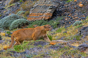 Wild puma (Puma concolor) walking across rocks, profile, Torres del Paine National Park, Chile.  -  Gabriel Rojo
