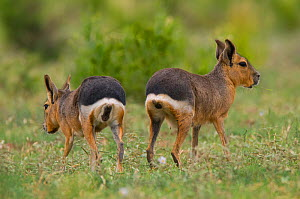 Patagonian cavy (Dolichotis patagonum ) rear view of two, La Pampa, Argentina.  -  Gabriel Rojo