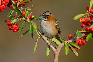 Rufous-collared sparrow (Zonotrichia capensis) perched amongst berries, Calden forest, La Pampa, Argentina.  -  Gabriel Rojo