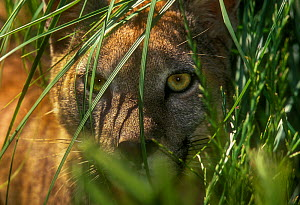 Puma (Puma concolor) hidden in vegetation, captive, La Pampa , Argentina  -  Gabriel Rojo