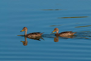 Yellow-billed teal (Anas flavirostris) two swimming, La Pampa, Argentina  -  Gabriel Rojo