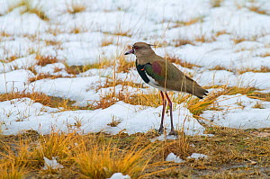 Southern lapwing (Vanellus chilensis) in with spur on its wing, in snowy grassland, La Pampa , Argentina  -  Gabriel Rojo