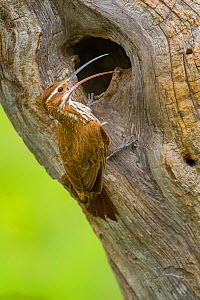 Scimitar-billed woodcreeper (Drymornis bridgesii) at nest hole, Calden forest, La Pampa, Argentina.  -  Gabriel Rojo