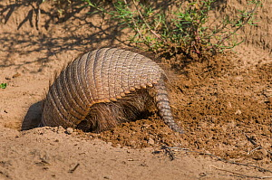 RF- Big hairy armadillo (Chaetophractus villosus) digging, La Pampa, Argentina. (This image may be licensed either as rights managed or royalty free.) - Gabriel Rojo