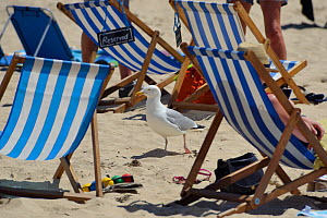 Adult Herring gull (Larus argentatus) walking among sunbathers on beach, St.Ives, Cornwall, UK, June. Editorial use only.  -  Nick Upton