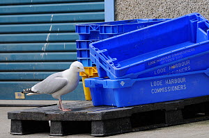 Adult Herring gull (Larus argentatus) searching for scraps in fish boxes, Looe, Cornwall, UK, June. - Nick Upton