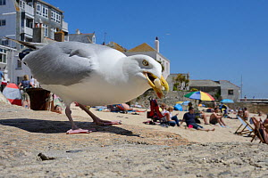Adult Herring gull (Larus argentatus) scavenging left over food, St.Ives, Cornwall, UK, June. Editorial use only. - Nick Upton