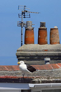 Great black-backed gull (Larus marinus) standing on a rooftop looking for Herring gull chicks to predate, St.Ives, Cornwall, UK, June.  -  Nick Upton