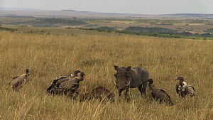 Male Common warthog (Phacochoerus africanus) feeding on a dead Blue wildebeest (Connochaetes taurinus), with White-backed vultures (Gyps africanus), Masai Mara National Reserve, Kenya.  -  Silke Arndt