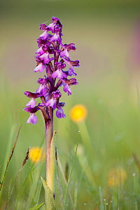 Green-winged orchid (Anacamptis morio) in flower amongst meadow grass, Ashton Court, North Somerset, UK, May..  -  Michael Hutchinson