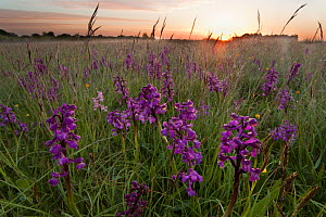 Green-winged orchids (Anacamptis morio) flowering in meadow at sunrise, Ashton Court, North Somerset, UK, May.  -  Michael Hutchinson