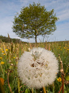 Dandelion (Taraxacum) seed head in grass meadow, Ashton Court, North Somerset, UK, May. - Michael Hutchinson