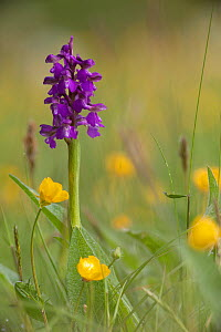 Green-winged orchid (Anacamptis morio) in flower amongst Meadow buttercups (Ranunculus acris) in grass meadow, Ashton Court, Bristol, North Somerset, UK, May..  -  Michael Hutchinson