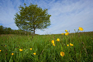 Meadow buttercups (Ranunculus acris) in grass meadow, Ashton Court, Bristol, North Somerset, UK, May. - Michael Hutchinson