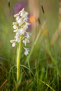Green-winged orchid (Anacamptis morio var. alba) white colour morph in flower, Ashton Court, North Somerset, UK, May.  -  Michael Hutchinson